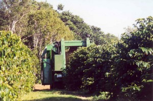 Harvesting the Coffee