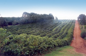 Jindebah Plantation